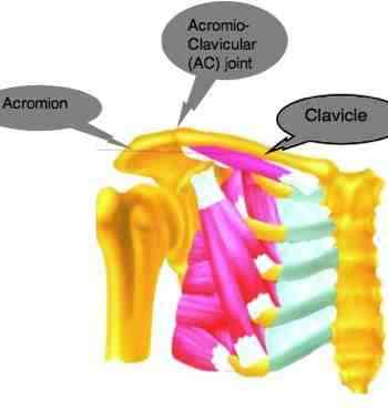 The acromioclavicular joint muscles.