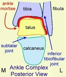 A posterior view of the ankle complex.