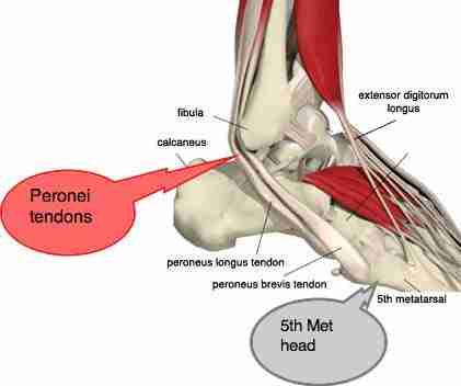Lateral ankle muscles