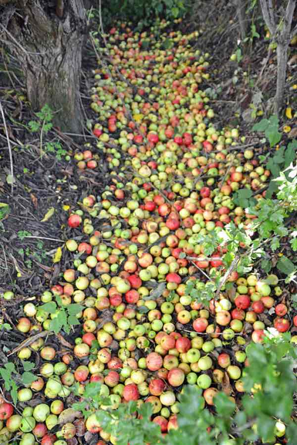 Apples left to rot on the ground in an orchard.