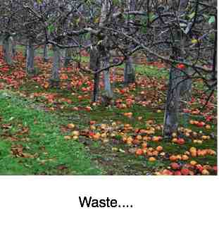 A surplus of apples have fallen and wasted in the orchard.
