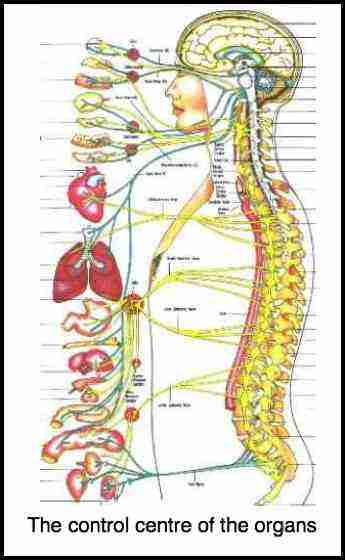This autonomic nervous system chart shows how the organs are innervated from the spine.