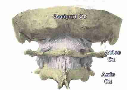 The atlanto occipital C1-C0 joint showing the ligaments.