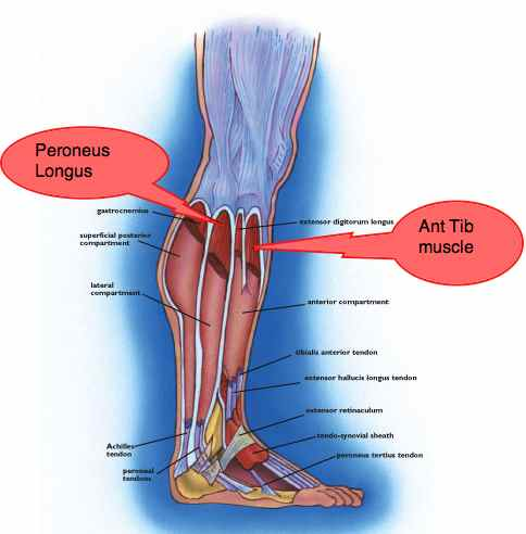 The lateral calf compartment muscles are one of the targets of ankle exercises.
