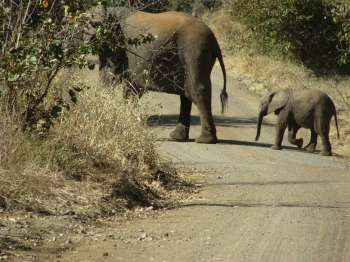 Elephant and her calf at Kruger National Park near to Nelspruit.