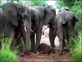 An elephant baby birth is very moving; I wonder if they get colic?