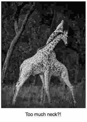 Giraffes necking it; I wonder if any headache?