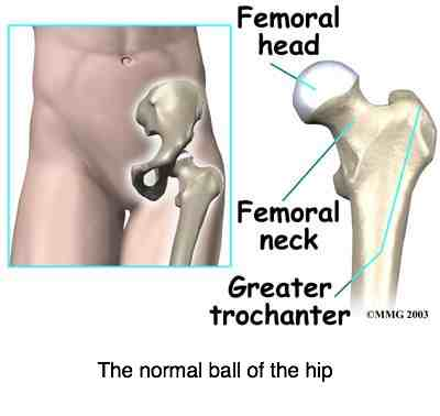 Schematic view of the normal hip.