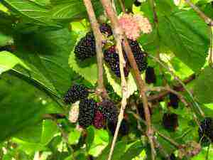 Fruit like mulberries is allowed and in fact encouraged on the Banting diet.