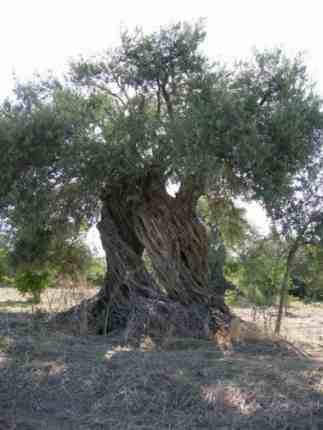 An ancient olive tree.