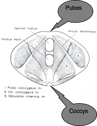Diagram showing the extent of the pubo-coccygeus muscle.