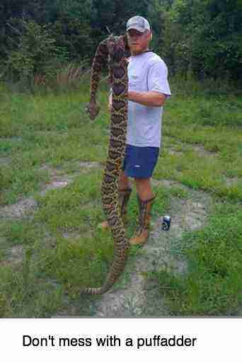 A giant puff adder.