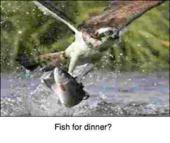 Photograph of a salmon being caught by an eagle, perfect for fish soup.