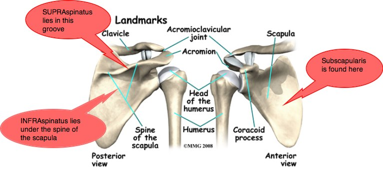 Shoulder Bone Anatomy Diagram 25 Best Ideas About Shoulder Joint