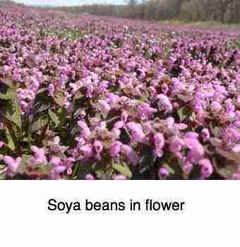 Soya beans tofu nutrition