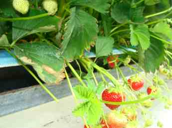 Growing strawberries in the Netherlands.