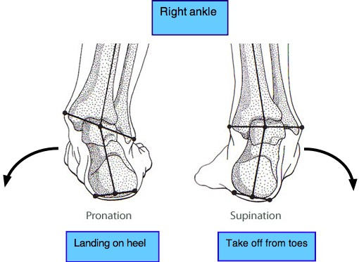 analysis of the ankle Conclusions overall results and analysis indicate that ankle dorsiflexion angle should be considered when judging the injury in lower limb under frontal impact.