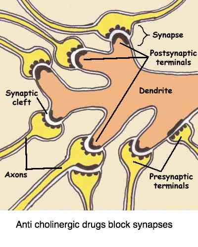 Synapses involved in anticholinergic side effects.