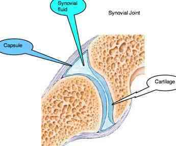Synovial joints are lined with hyaline cartilage that has no blood supply of its own.