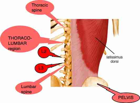 Thoraco lumbar spine showing muscles.