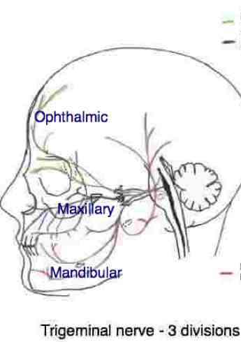 The trigeminal nerve has three divisions.