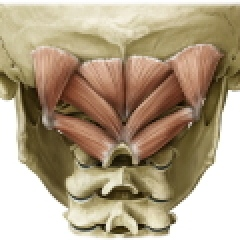 The suboccipital muscles are a common cause of headache.