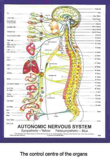 The autonomic system spine chart.
