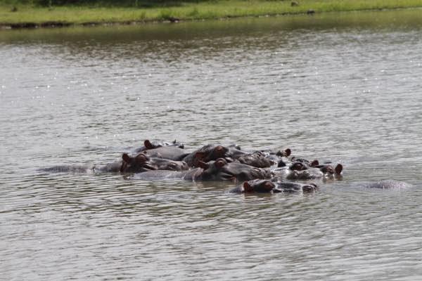 Hippos at a North Coast resort.