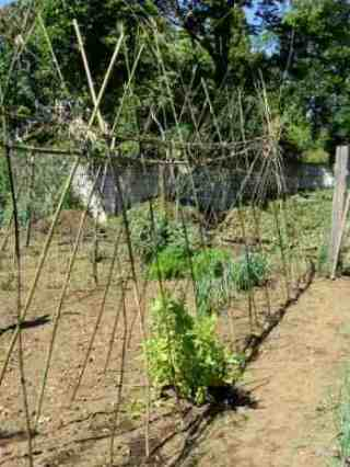 Growing Green Beans Is One Of The Best Solutions To