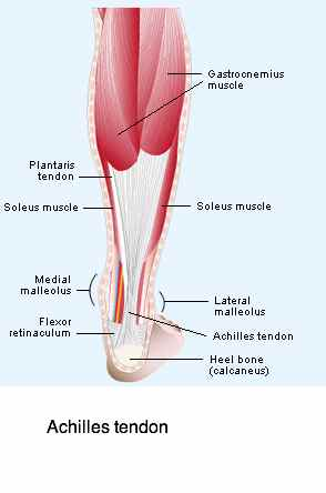 The Achilles tendon must be stretched and strengthen in ankle exercises.