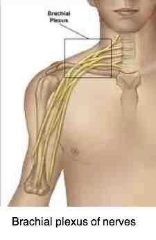The brachial plexus of nerves that supply the arm.