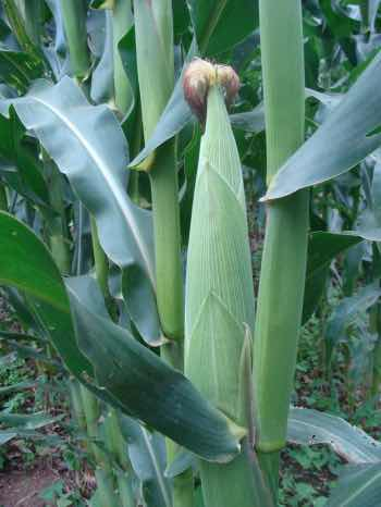 Corn contains a large amount of zeaxanthin