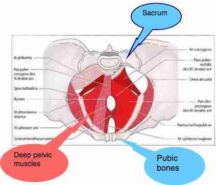 Deep pelvic muscles axial view.
