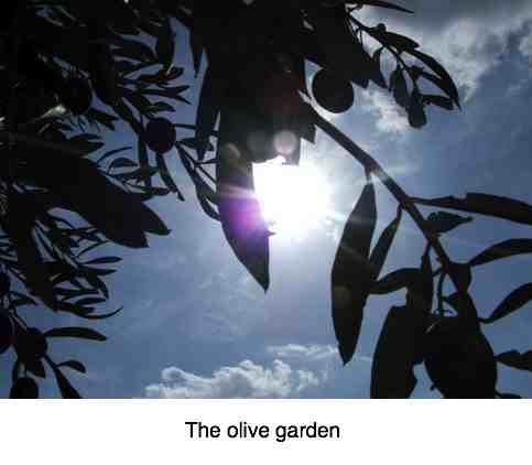 Picturesque view of the sun in an olive garden.