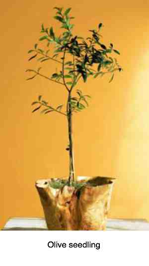 Photograph of an olive seedling.