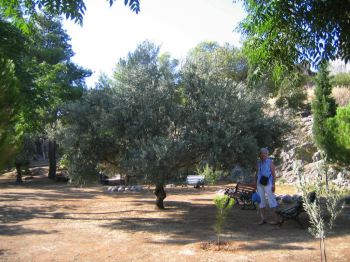 olive tree in Naptheon, Greece.