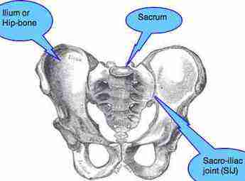 Diagram of the pelvis showing the sacro-iliac joint.