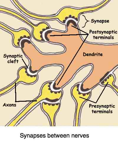 Brain synapses need the fatty acids best found in fish oil.