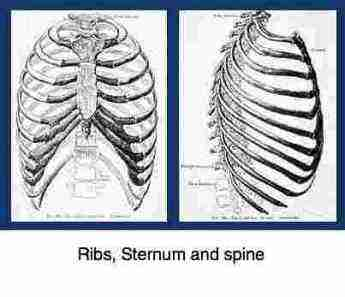 Thoracic cage