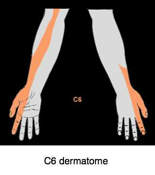 C6 dermatome- index finger AND thumb