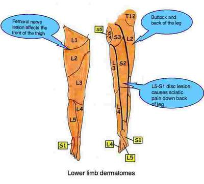 Nerve patterns in the leg